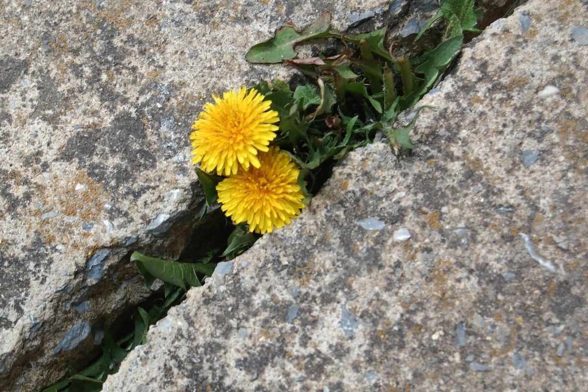 Dwa kwiatki wyrastające ze szczelinie w betonie